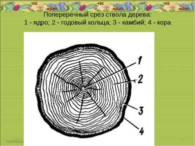 Попереречный срез ствола дерева: 1 - ядро; 2 - годовый кольца; 3 - камбий; 4 ...