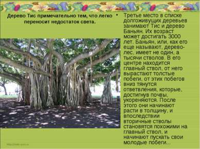 Дерево Тис примечательно тем, что легко переносит недостаток света. Третье ме...
