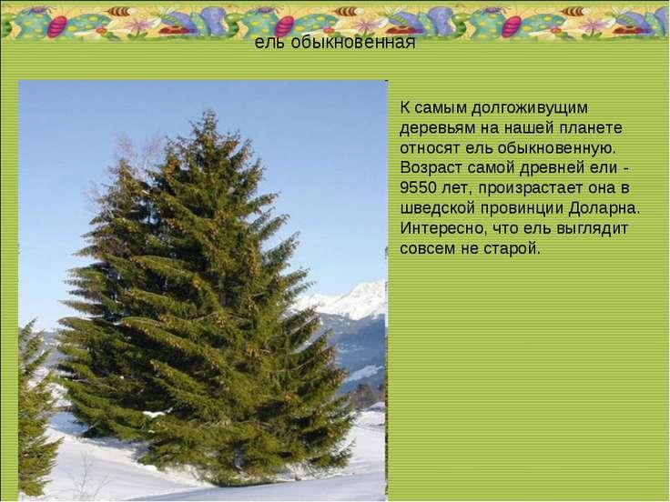 ель обыкновенная К самым долгоживущим деревьям на нашей планете относят ель о...