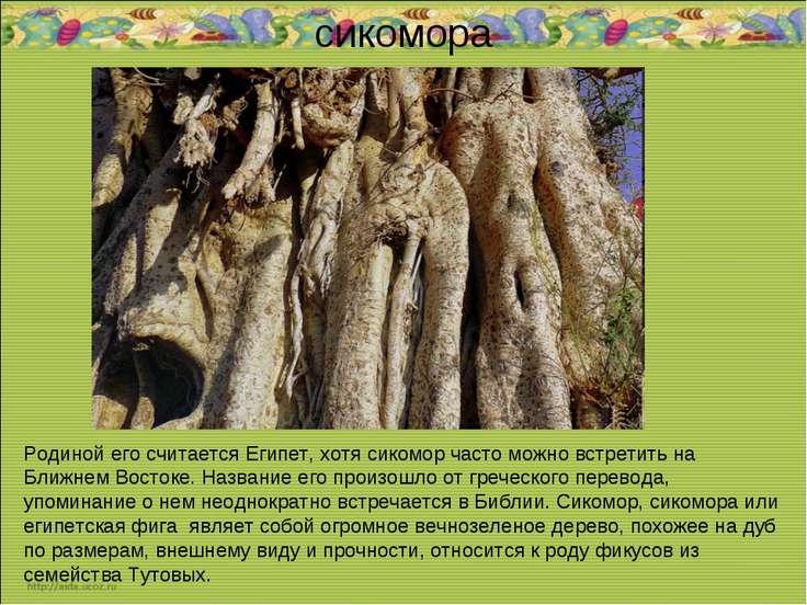 сикомора Родиной его считается Египет, хотя сикомор часто можно встретить на ...