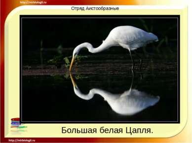 Отряд Аистообразные Большая белая Цапля.