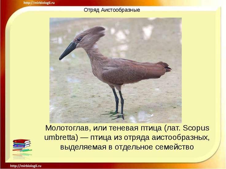 Отряд Аистообразные Молотоглав, или теневая птица (лат. Scopus umbretta) — пт...