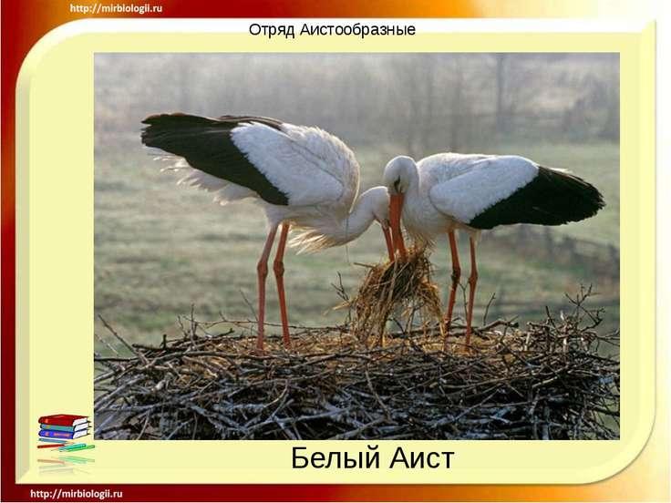 Отряд Аистообразные Белый Аист