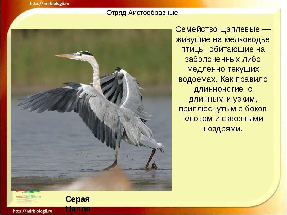Отряд Аистообразные Семейство Цаплевые — живущие на мелководье птицы, обитающ...