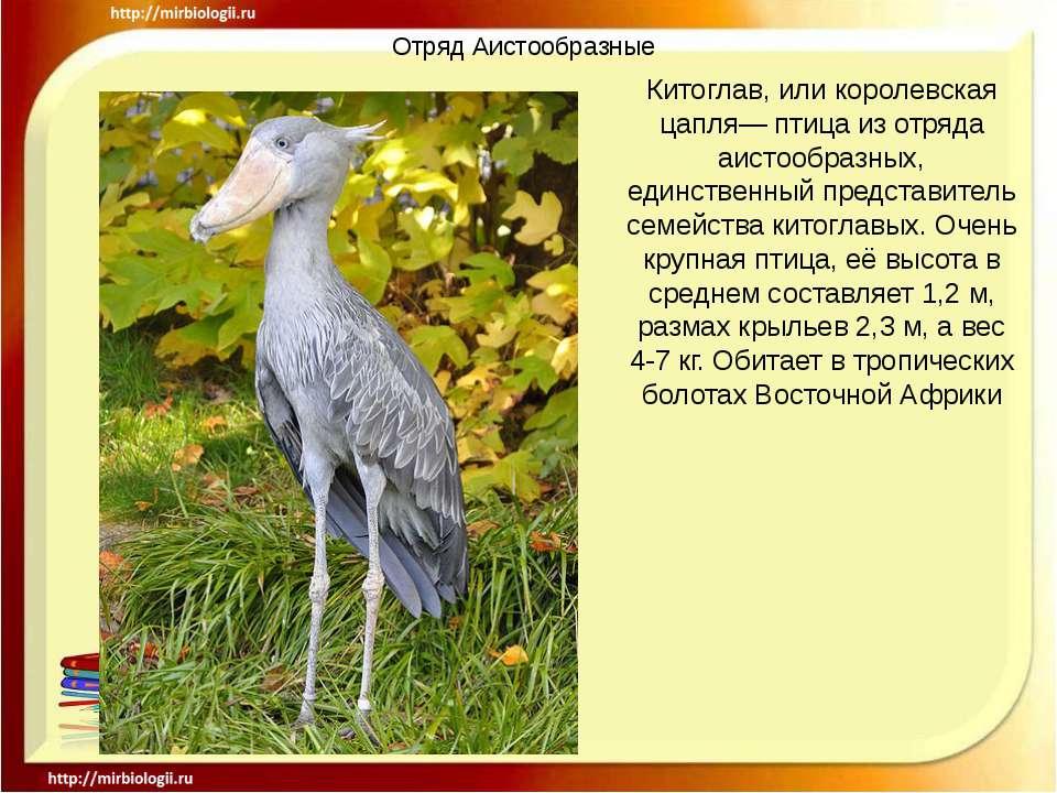 Отряд Аистообразные Китоглав, или королевская цапля— птица из отряда аистообр...