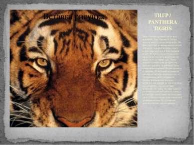 ТИГР / PANTHERA TIGRIS Тигр - самый крупный среди всех кошачьих. Они обитают ...