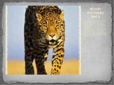 ЯГУАР / PANTHERA ONCA Ягуар - настоящий воин! Мощные челюсти, огромные прыжки...