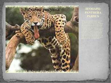 ЛЕОПАРД / PANTHERA PARDUS Обычные места обитания леопардов - это лесные прост...