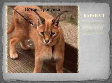 КАРАКАЛ Каракал известен также как пустынная рысь. Живёт в Африке, включая Са...