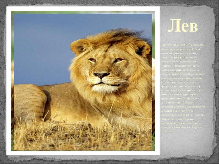 Лев Лев обитает на открытых равнинах. Его называют царём зверей. Лев - огромн...