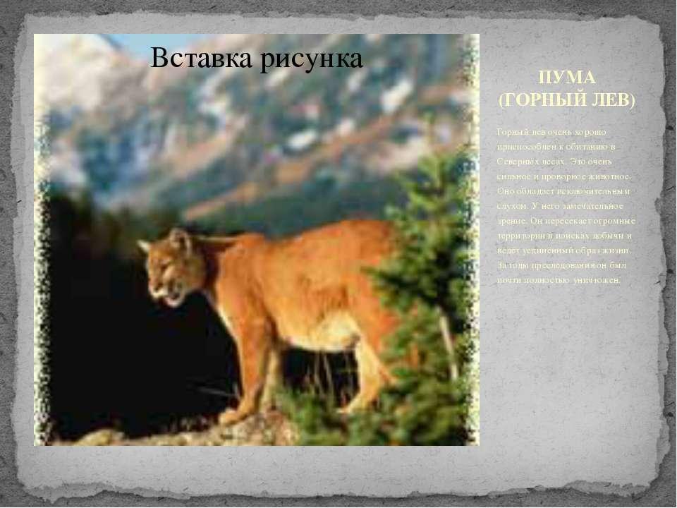 ПУМА (ГОРНЫЙ ЛЕВ) Горный лев очень хорошо приспособлен к обитанию в Северных ...