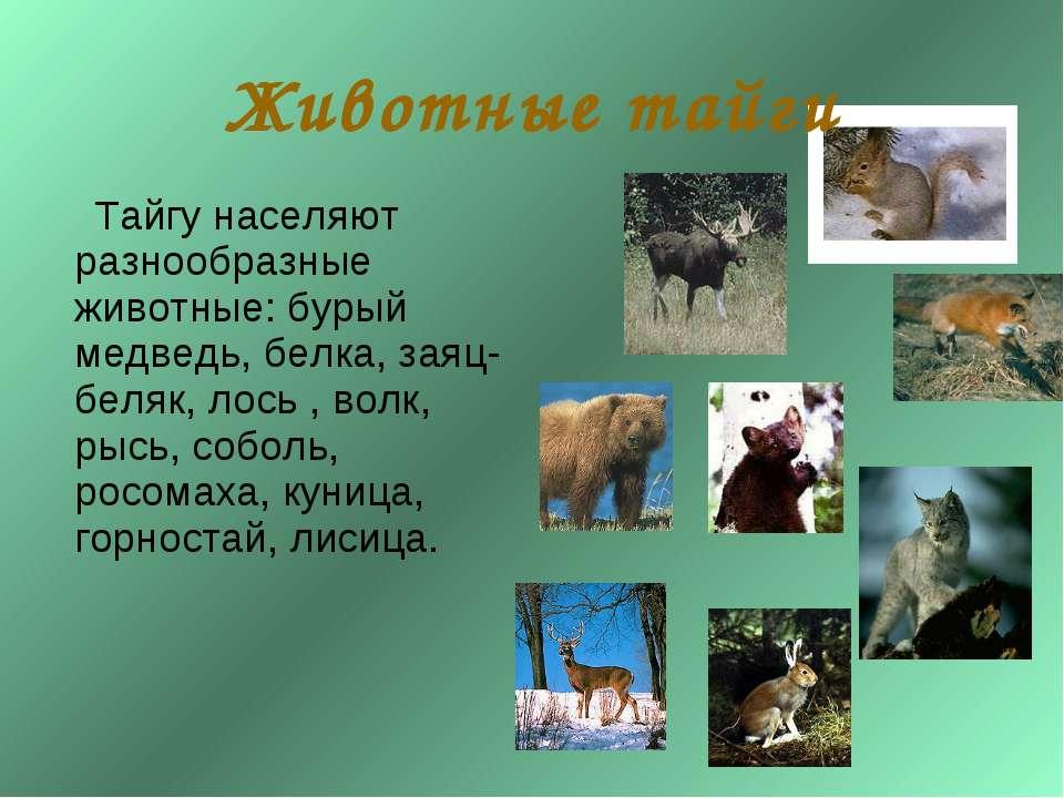 Тайгу населяют разнообразные животные: бурый медведь, белка, заяц-беляк, лось...