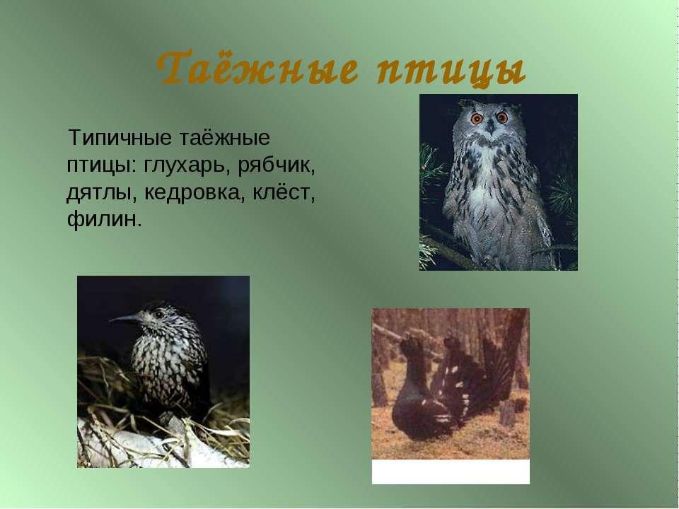Таёжные птицы Типичные таёжные птицы: глухарь, рябчик, дятлы, кедровка, клёст...