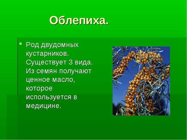 Облепиха. Род двудомных кустарников. Существует 3 вида. Из семян получают цен...