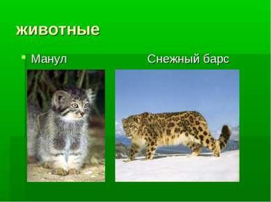 животные Манул Снежный барс