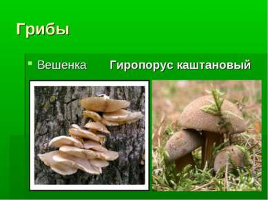 Грибы Вешенка Гиропорус каштановый
