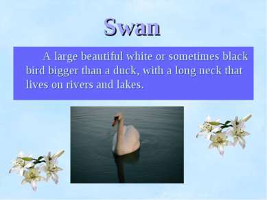 Swan A large beautiful white or sometimes black bird bigger than a duck, with...