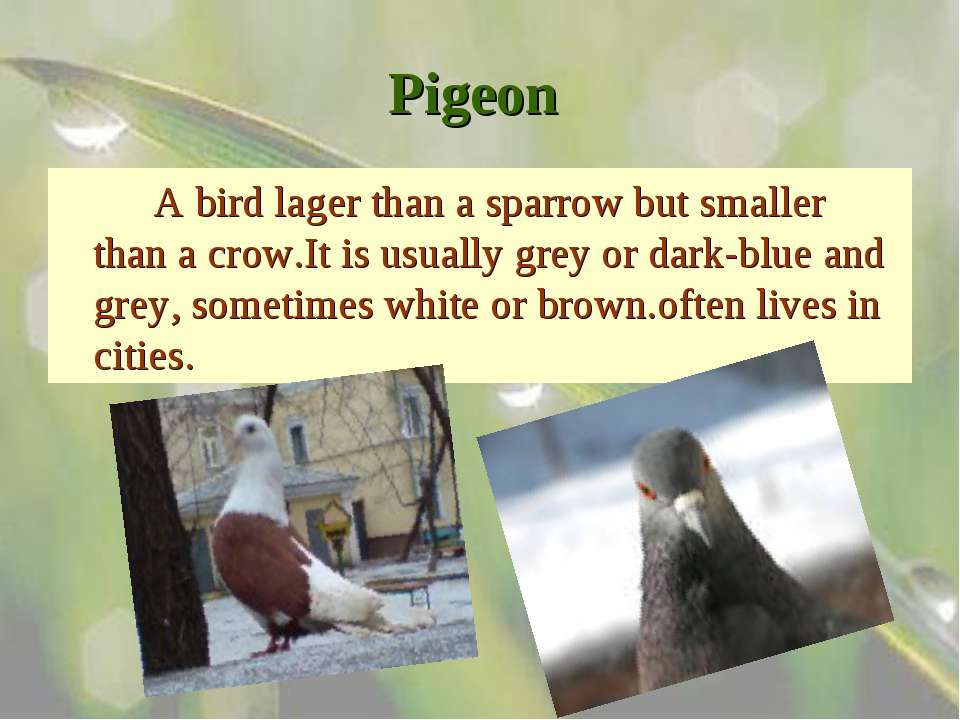 Pigeon A bird lager than a sparrow but smaller than a crow.It is usually grey...