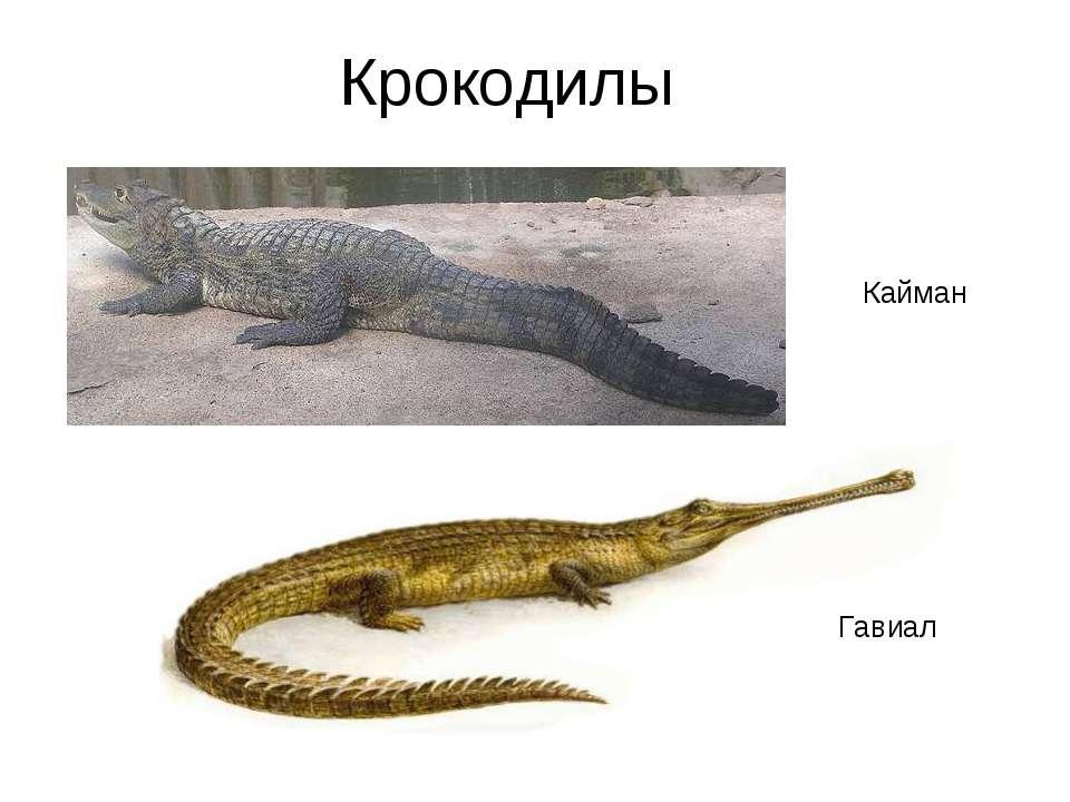 Крокодилы Кайман Гавиал