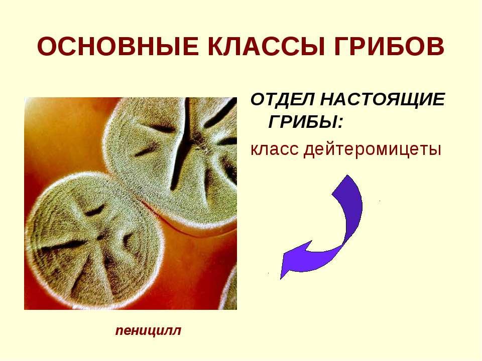 ОСНОВНЫЕ КЛАССЫ ГРИБОВ ОТДЕЛ НАСТОЯЩИЕ ГРИБЫ: класс дейтеромицеты пеницилл
