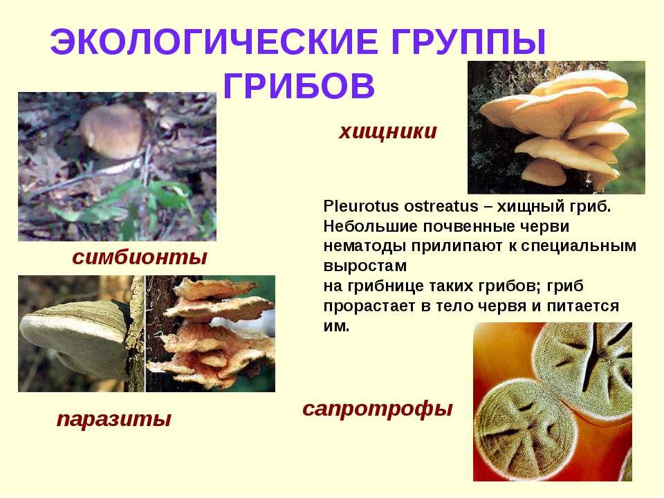 ЭКОЛОГИЧЕСКИЕ ГРУППЫ ГРИБОВ симбионты паразиты хищники Pleurotus ostreatus – ...