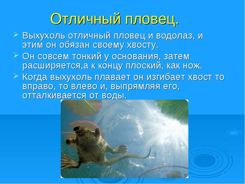 Отличный пловец. Выхухоль отличный пловец и водолаз, и этим он обязан своему ...