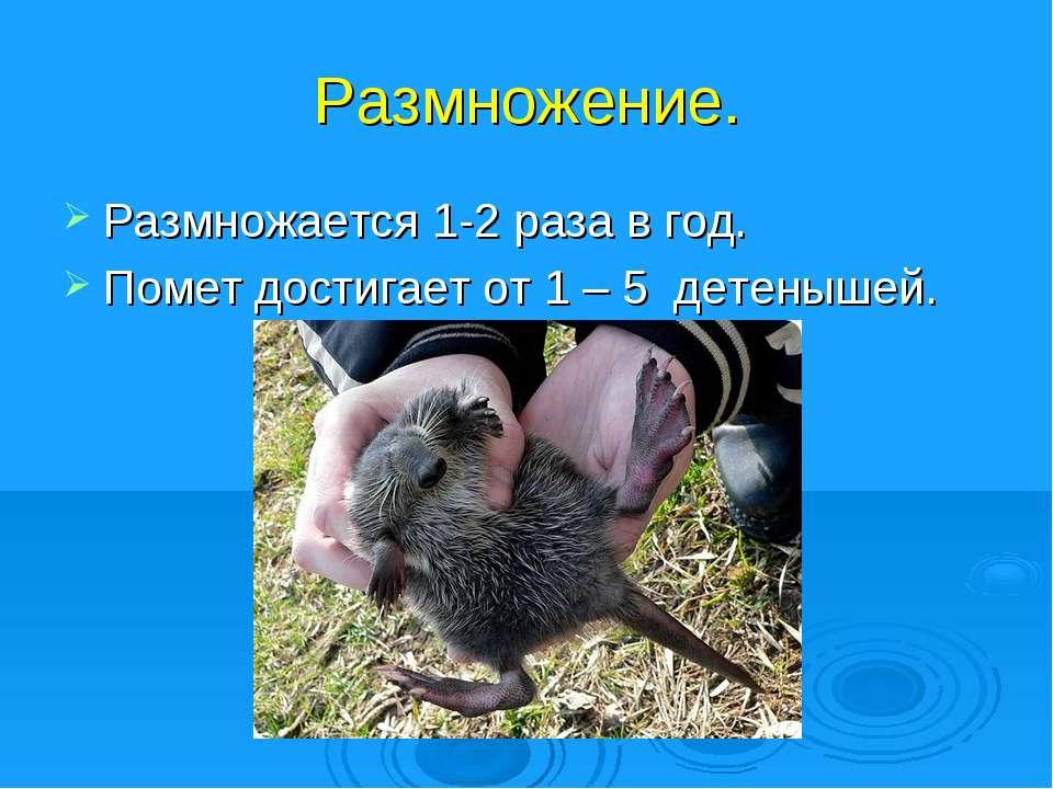 Размножение. Размножается 1-2 раза в год. Помет достигает от 1 – 5 детенышей.