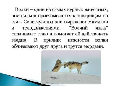 Волки – одни из самых верных животных, они сильно привязываются к товарищам п...