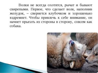 Волки не всегда охотятся, рычат и бывают свирепыми. Первое, что сделает волк,...