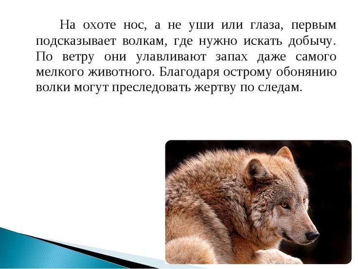 На охоте нос, а не уши или глаза, первым подсказывает волкам, где нужно искат...