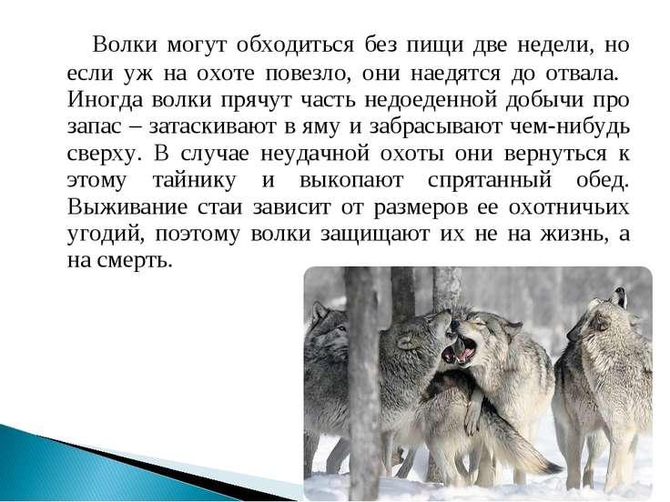 Волки могут обходиться без пищи две недели, но если уж на охоте повезло, они ...