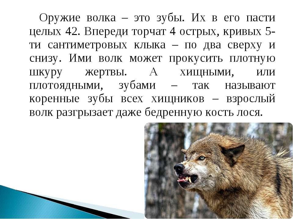 Оружие волка – это зубы. Их в его пасти целых 42. Впереди торчат 4 острых, кр...