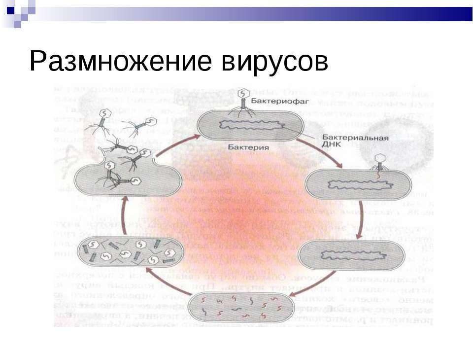 Размножение вирусов