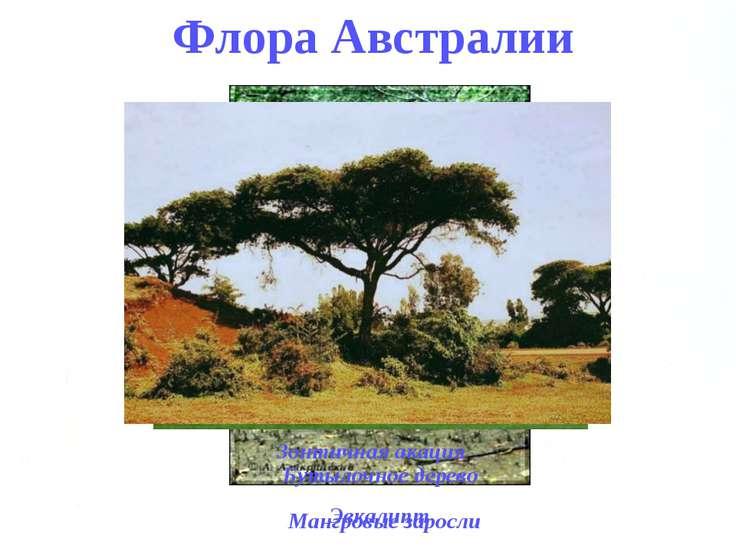 Флора Австралии Мангровые заросли Эвкалипт Бутылочное дерево Зонтичная акация
