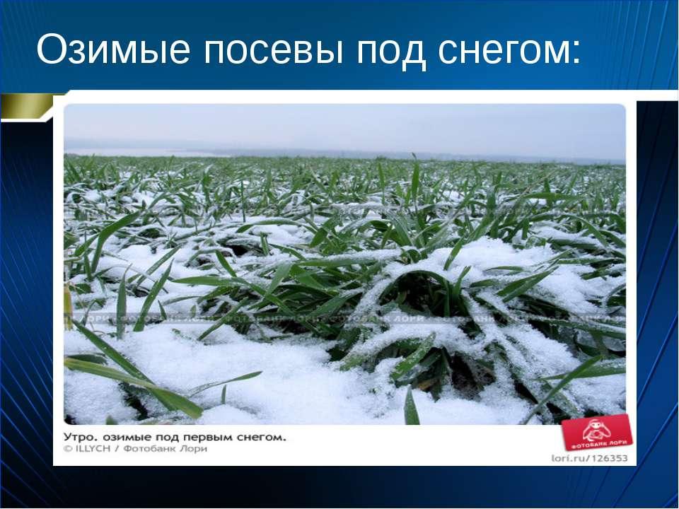 Озимые посевы под снегом: