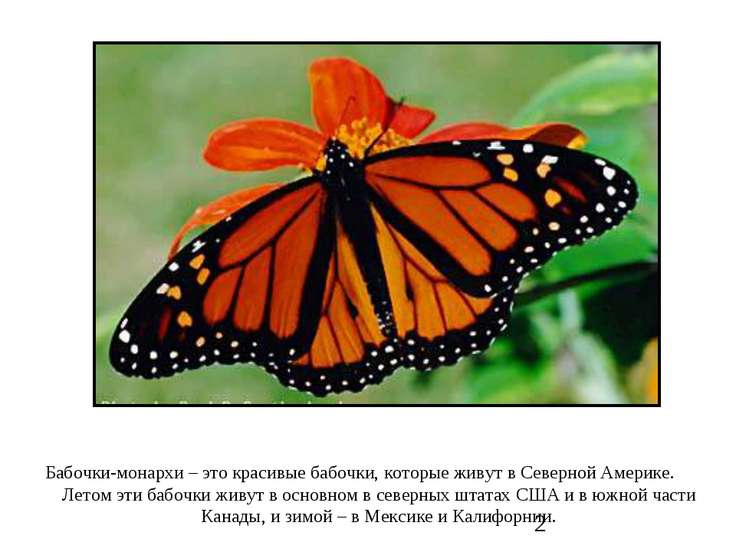 Бабочки-монархи – это красивые бабочки, которые живут в Северной Америке. Лет...