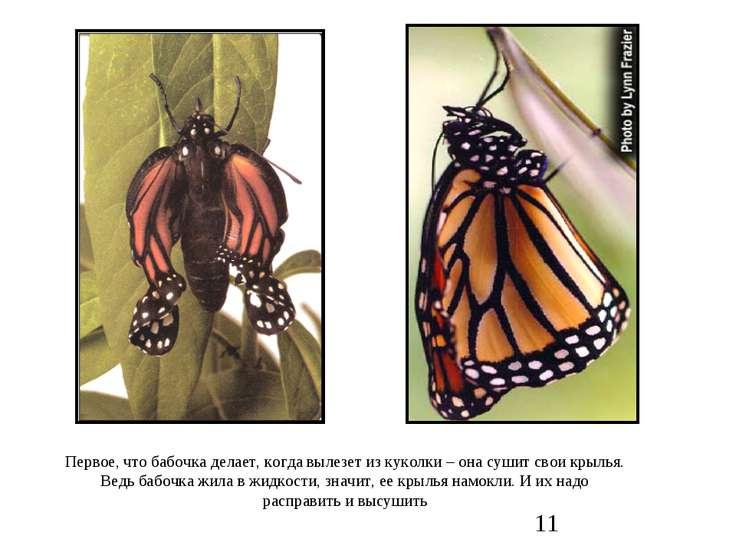 Первое, что бабочка делает, когда вылезет из куколки – она сушит свои крылья....