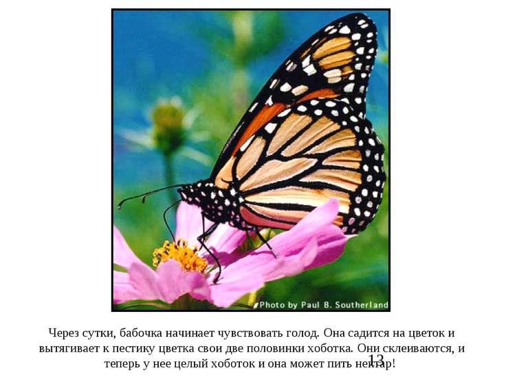 Через сутки, бабочка начинает чувствовать голод. Она садится на цветок и вытя...