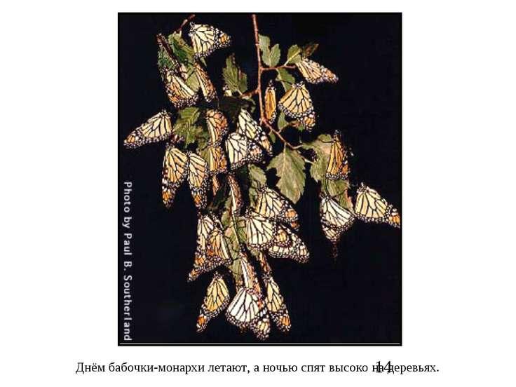 Днём бабочки-монархи летают, а ночью спят высоко на деревьях.
