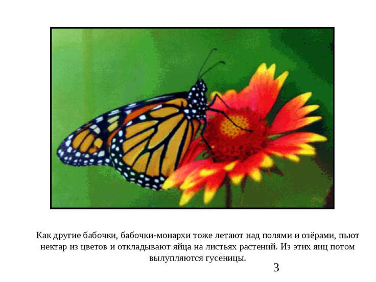 Как другие бабочки, бабочки-монархи тоже летают над полями и озёрами, пьют не...