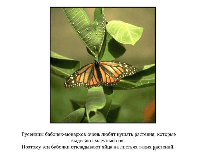 Гусеницы бабочек-монархов очень любят кушать растения, которые выделяют млечн...