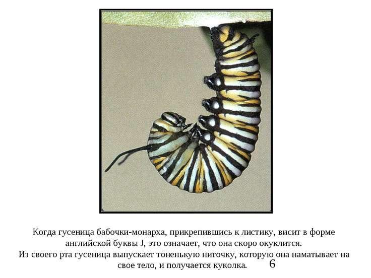 Когда гусеница бабочки-монарха, прикрепившись к листику, висит в форме англий...