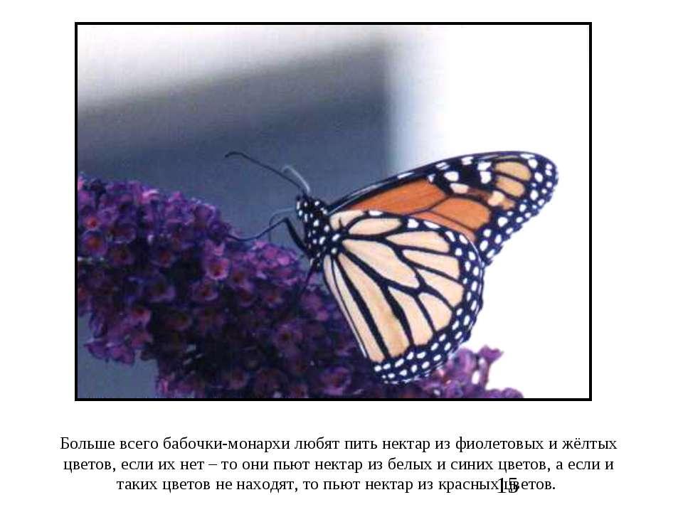 Больше всего бабочки-монархи любят пить нектар из фиолетовых и жёлтых цветов,...