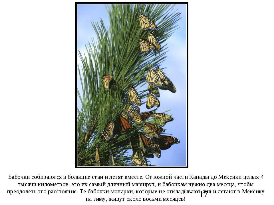 Бабочки собираются в большие стаи и летят вместе. От южной части Канады до Ме...