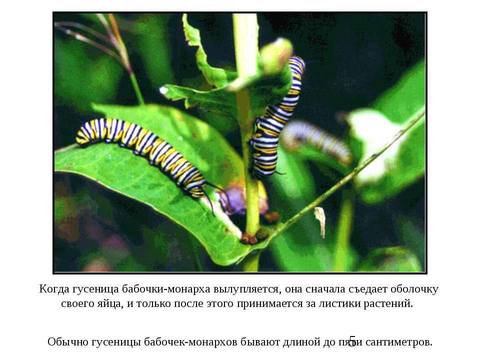 Когда гусеница бабочки-монарха вылупляется, она сначала съедает оболочку свое...