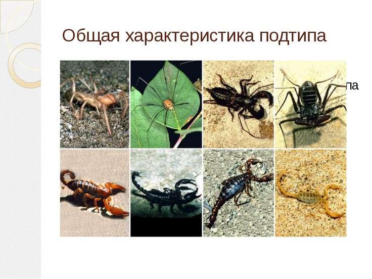 Общая характеристика подтипа Паукообразные -классчленистоногих подтипа хели...