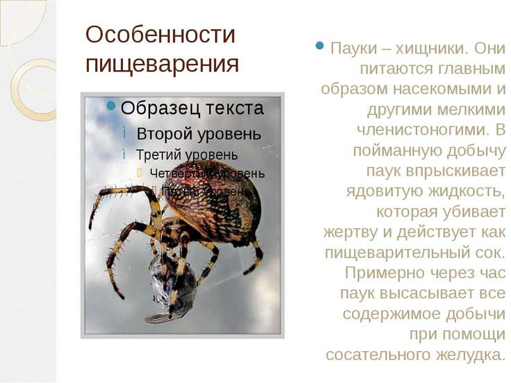 Особенности пищеварения Пауки – хищники. Они питаются главным образом насеком...