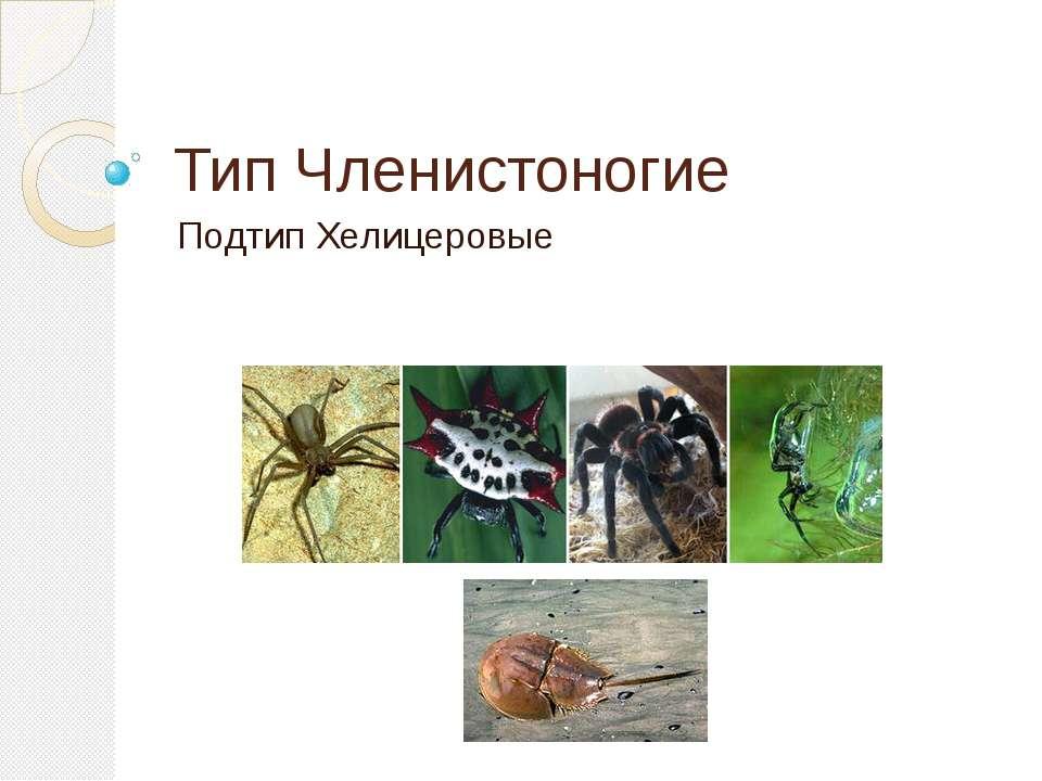 Тип Членистоногие Подтип Хелицеровые