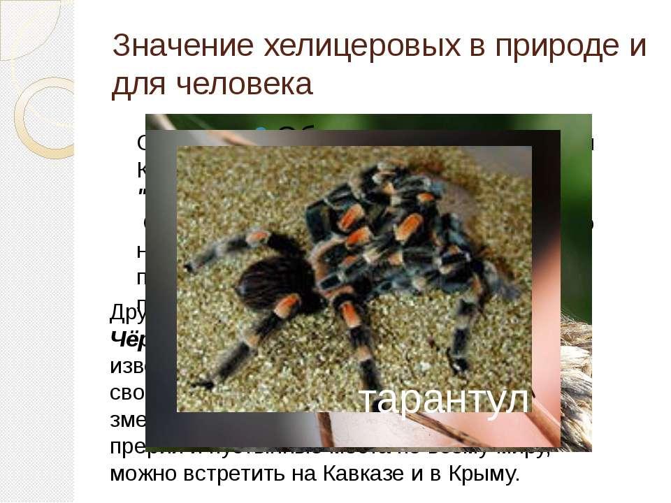 Значение хелицеровых в природе и для человека Другим крайне опасным пауком сч...