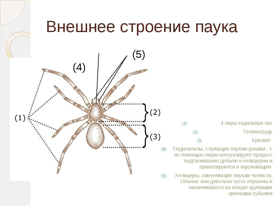 Внешнее строение паука (5) (4) 4 пары ходильных ног Головогрудь Брюшко Педипа...